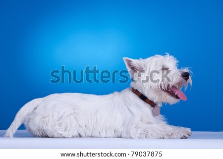 west highland white terrier laying down with his tong out, against blue background