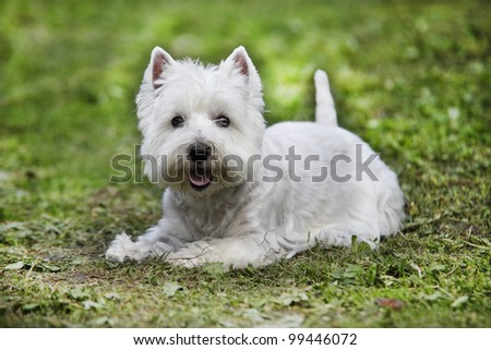 West Highland White Terrier lying on the grass - outdoor scene