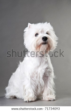 West Highland White Terrier (5 months) in front of black background