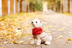 west highland white terrier  sitting in the park on the autumn foliage. gold nature. dog in beige pullover and red scarf