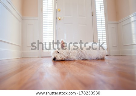 West highland white terrier waiting at the front door of a home Stock photo ©