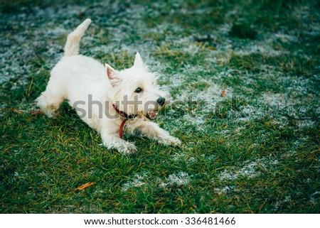 West Highland White Terrier - Westie, Westy Dog Run in Grass