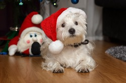 West highland white terrier. White dog wearing a Santa Claus hat. Gnomes. Merry Christmas. New Year.