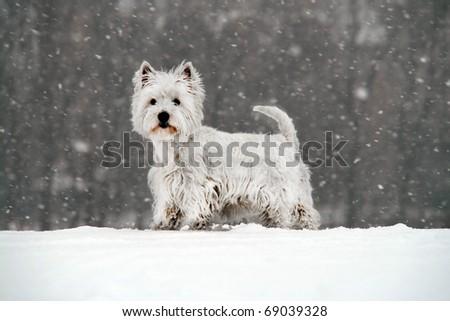 West Highland White Terrier - winter scene