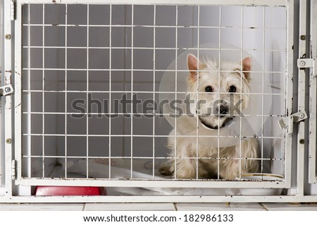West higland white terrier in an animal shelter, waiting for a home