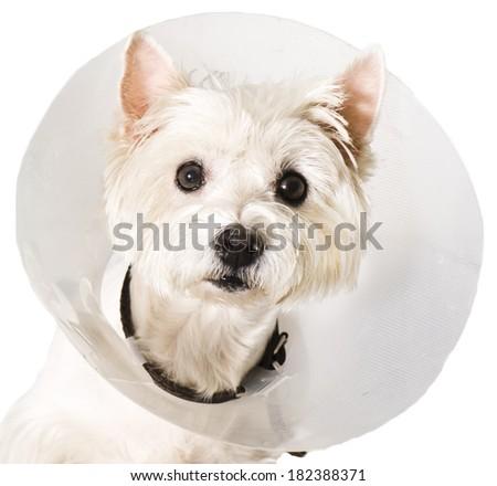 West higland white terrier wearing an elizabethan collar