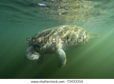 West Indian Manatee suns its self in Crystal River Florida
