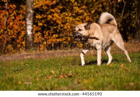 West Siberian laika (husky) playing with stick