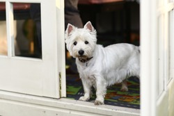 west white terrier dog in the pergola door opening close up summer photo
