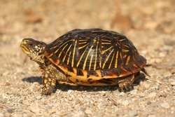 Western Box Turtle (Terrapene ornata) in the flint hills of Kansas