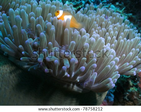 Western clown anemonefish and Commensal shrimp