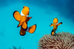 Western clownfish - a small bright fish.  The body is bright orange in color with three broad light vertical stripes, the middle stripe with a forward-pointing thickening. It lives in an anemones.