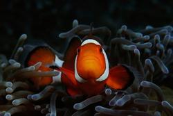 Western clownfish (Western clownfish (Ocellaris Clownfish, False Percula Clownfish)) is hiding inside anemone, Panglao, Philippines