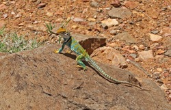 Western Collared lizard, Sedona Arizona Southwestern United States