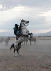 Western cowboys riding horses in dusts. Horse standing on its hind legs with cowboy.