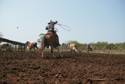 Western cowboys riding horses, roping wild cow. Cowboys riding horses running on a sandy ground.