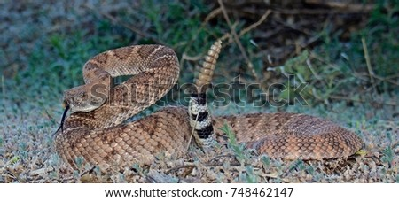 Western Diamondback coiled, tail rattling, tongue  out - Shutterstock ID 748462147
