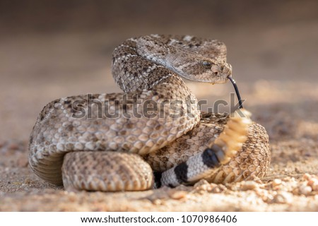 Western Diamondback Rattlesnake (Crotalus atrox) - Shutterstock ID 1070986406