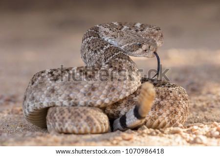 Western Diamondback Rattlesnake (Crotalus atrox) - Shutterstock ID 1070986418