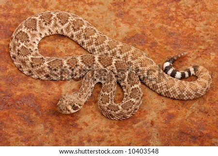Western Diamondback Rattlesnake (Crotalus atrox).  This can be one of the most aggressive rattlesnakes in the United States. It's large with potent venom.