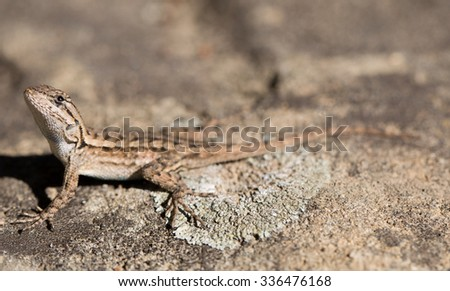 Western Fence Lizard gets distracted by a fly #336476168