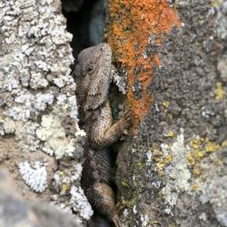 Western Fence Lizard in a Crack