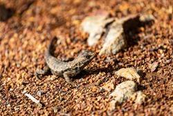 Western Fence Lizard In California's Big Sur