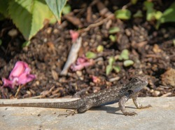 Western Fence Lizard in Southern California