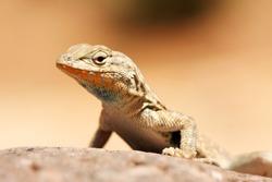 Western Fence Lizard perched on a rock (closeup)