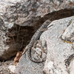 Western fence lizard (Sceloporus occidentalis longipes) side profile showing blue belly while perched on a granite boulder in Great Basin National Park