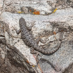 Western fence lizard (Sceloporus occidentalis longipes) sits still while perched on a granite boulder in Great Basin National Park