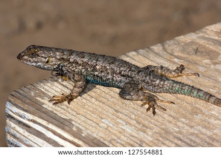 Western Fence Lizard (sceloporus occidentalis), Southern California