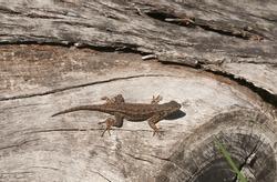 Western Fence Lizard, sunning itself on a log