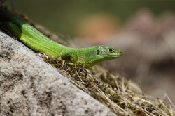 Western Green Lizard sits in a dry stone wall