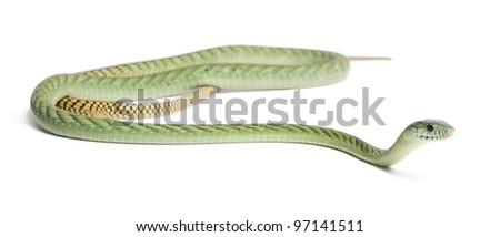 Western green mamba  - Dendroaspis viridis, poisonous, white background - stock photo