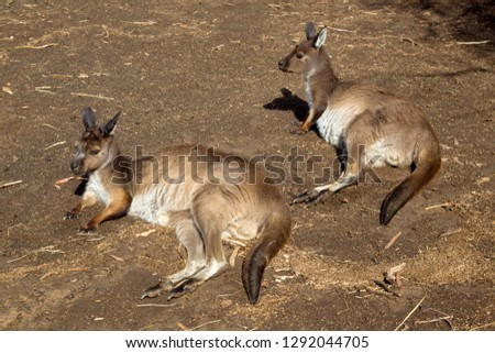 Western grey kangaroo (Macropus fuliginosus), in captivity, Kangaroo Island, South Australia, Australia.