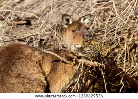 Western grey kangaroo (Macropus fuliginosus), Kangaroo Island, South Australia, Australia.
