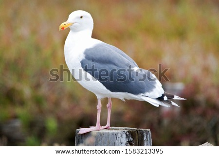 Western Gull (Larus occidentalis) in California, USA. Side view of a perched adult.