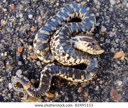 Western Hognose Snake, Heterodon Nasicus Stock Photo 82