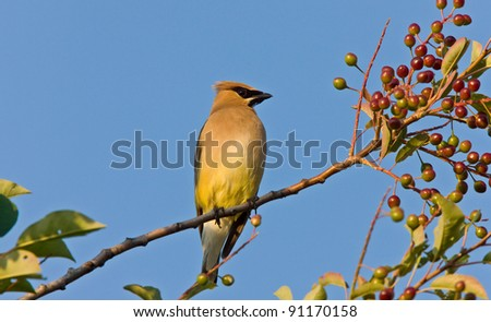 Western King bird perched in tree