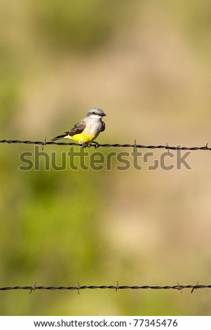 Western Kingbird in spring on the Texas Panhandle