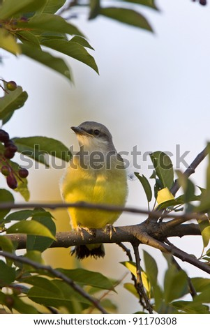 Western Kingbird perched in tree