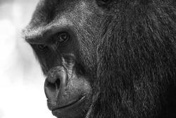 Western Lowland Gorilla (Gorilla gorilla gorilla). BAI Hokou. Dzanga Sangha Special Dense Forest Reserve, Central African Republic