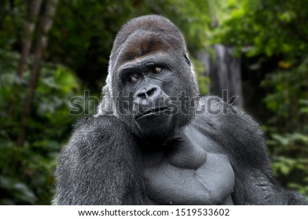 Western lowland gorilla (Gorilla gorilla gorilla) male silverback native to tropical rain forest in Central Africa