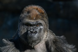 western Lowland Gorilla (Gorilla, gorilla, gorilla) with strong, angry look on face