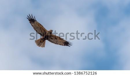 Western Marsh Harrier in Wetlands in Latvia in Spring