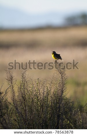 Western Meadowlark sings on the Colorado prairie, with mountains in the background - stock photo