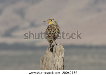 Western Meadowlark (sturnella neglecta) perched on a fence