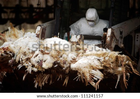 WESTERN NEGEV, ISRAEL - MARCH 18: Agriculture Ministry worker carry carcasses of dead turkeys due to Bird Flu outbreak in a forklift at Kibbutz Holit in the western Negev, Israel on March 19, 2006.