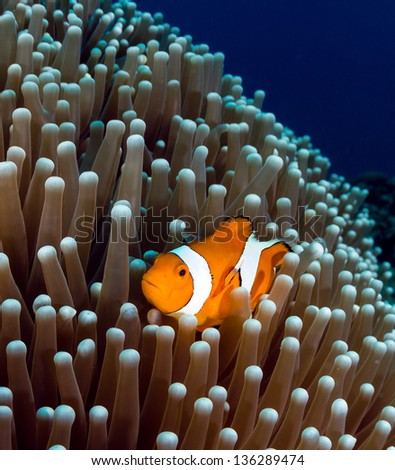 Western Pacific Clownfish shelters in its host anemone on a tropical coral reef